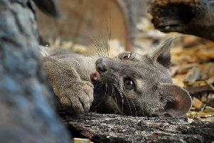 Zazu, the Fossa, arrived at the Zoo on Friday morning fromDvur Kralove Zoo in the Czech Republic. Picture: Five Sisters Zoo / Facebook