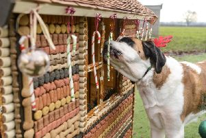 The dogs tucked in to the hut which is covered in 2,000 dog biscuits and 1,600 chewy treats.
