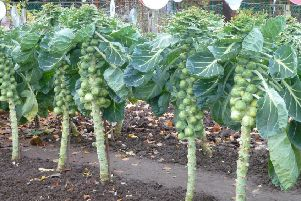 A field of Brussels sprouts is at the centre of an unusual row about the Battle of Prestonpans