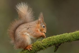 There are fears red squirrels could be wiped out across the UK by the end of the UK unless conservation efforts intensify. Picture: Andy Astbury/Getty