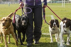 There has been a boom in commercial dog walking. Picture: Ian Georgeson