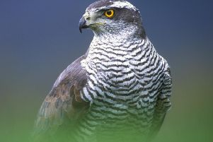 Two goshawks have been found shot dead in the Borders.
