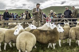 Callum Hume of the Yarrow valley judges Cheviot sheep.